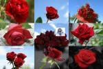 Red-Roses---Rote-Rosen-----nicht-blättern.ppsx auf www.funpot.net
